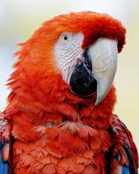 Photograph - Frankly Scarlet... Macaw by KJ Swan