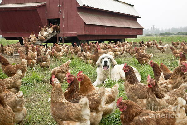 Great Pyrenees Photograph - Free Range Chickens by Inga Spence