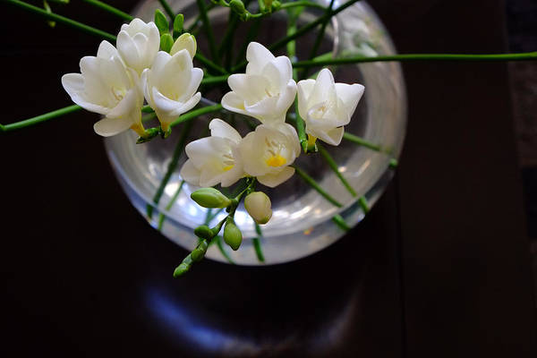 Photograph - Freesia In Bloom by August Timmermans