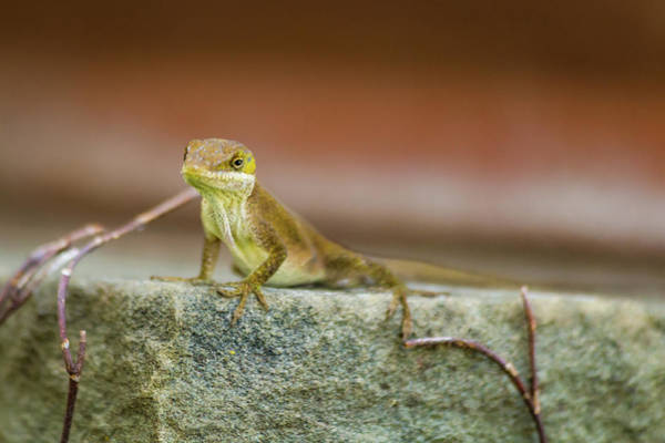 Lizard Photograph - Freeze  by Kathy Malecki