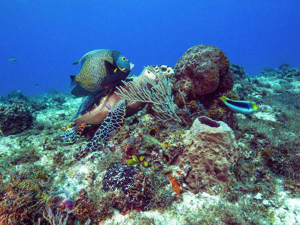 Photograph - French Angelfish And The Green Turtle by Matt Swinden