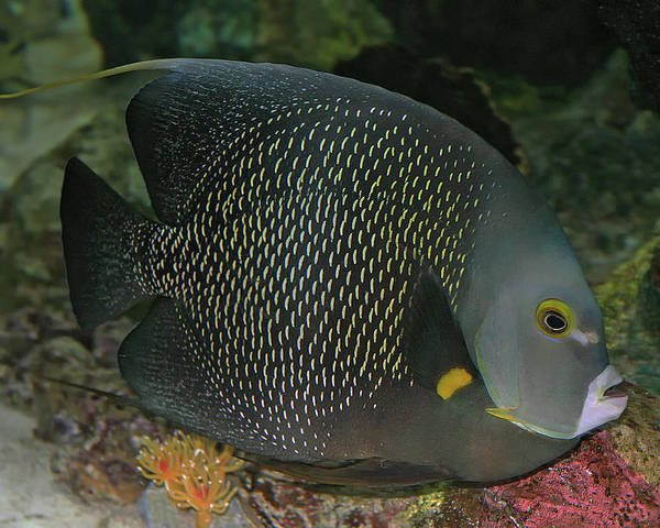 Photograph - French Angelfish by Larry Linton