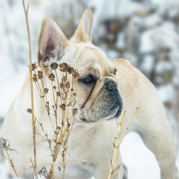 Photograph - French Bulldog In The Snow by Jennifer Grossnickle