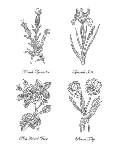 Botanical Garden Drawing - French Lavender Spanish Iris Pink Rose Parrot Tulip Drawing by Irina Sztukowski
