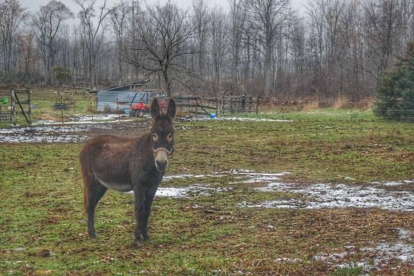 Photograph - 1019 - Frenchline Road Donkey by Sheryl L Sutter