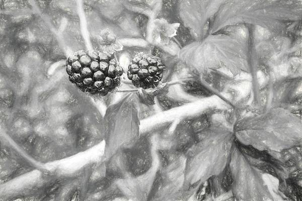 Photograph - Fresh Alabama Blackberries In Black And White by JC Findley