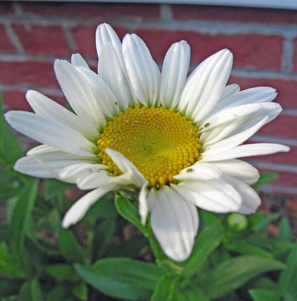 Wall Art - Photograph - Fresh As A Daisy by Barbara McDevitt