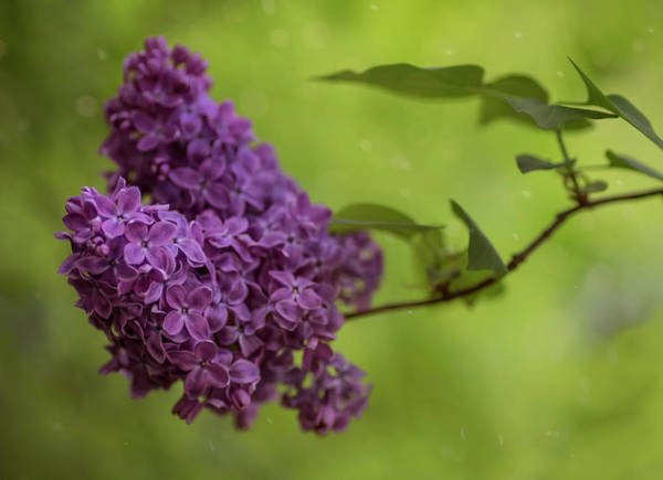 Wall Art - Photograph - Fresh Branch Of Lilac Flower by Jaroslaw Blaminsky