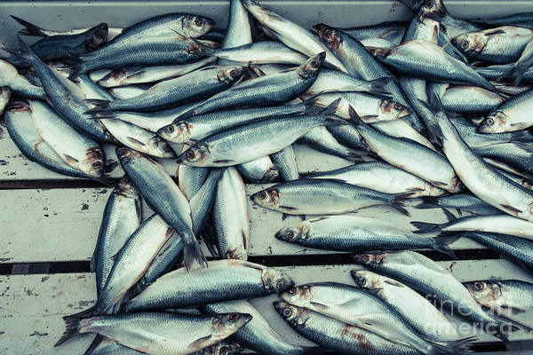 Wall Art - Photograph - Fresh Caught Herring Fish by Edward Fielding