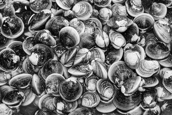 Photograph - Fresh Clams In Black And White by James BO Insogna