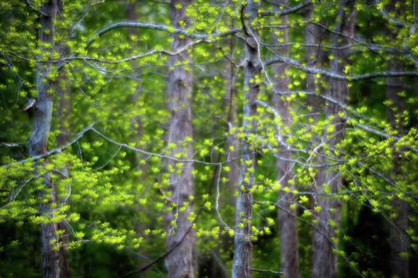 Photograph - Fresh Leaves by John Whitmarsh