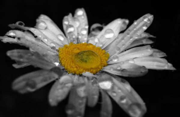 Photograph - Fresh Morning Daisy by Scott Hovind