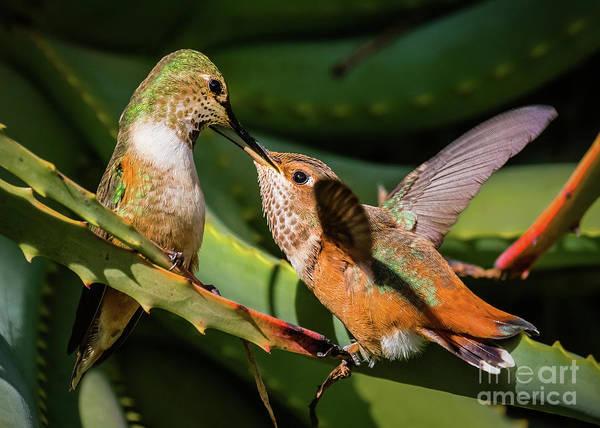 Selasphorus Photograph - Fresh Nectar Delivered by Carl Jackson