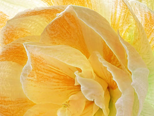 Photograph - Fresh Orange Amaryllis Abstract by Gill Billington