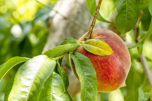 Photograph - Fresh Peach Hanging In Orchard by Teri Virbickis
