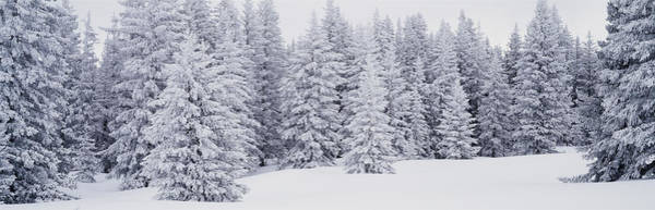 Nm Wall Art - Photograph - Fresh Snow On Pine Trees Taos County Nm by Panoramic Images