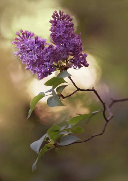 Wall Art - Photograph - Fresh Violet Lilac Flowers by Jaroslaw Blaminsky