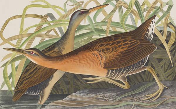 Wall Art - Painting - Fresh Water Marsh Hen by John James Audubon