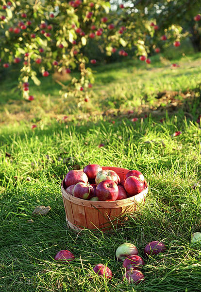 Wall Art - Photograph - Freshly Picked Apples In The Orchard  by Sandra Cunningham