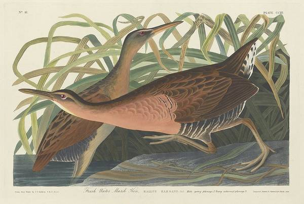 Wetland Drawing - Freshwater Marsh Hen by Dreyer Wildlife Print Collections