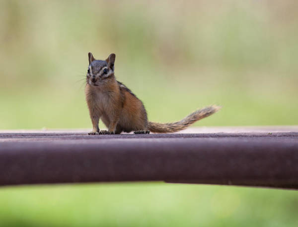 Photograph - Friendly Chipmunk by Fran Riley