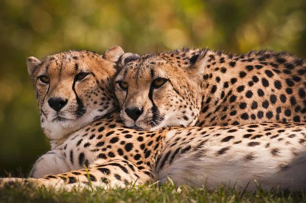 Cheetah Photograph - Friends Forever by Chad Davis