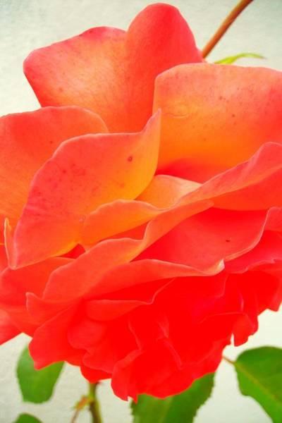 Blume Photograph - Friendship by Juergen Weiss