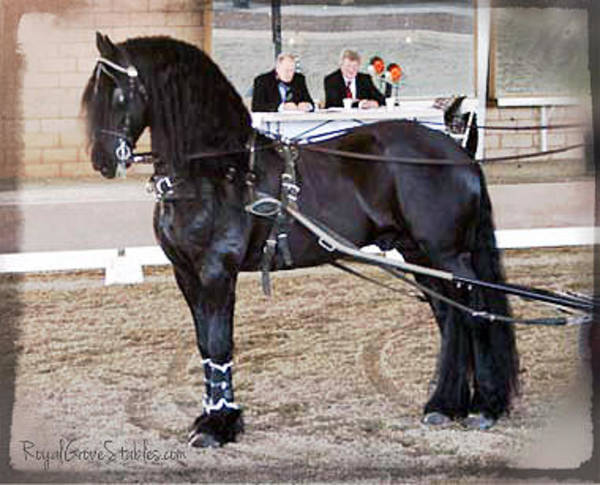 Photograph - Friesian Stallion Under Harness by Carol Whitaker