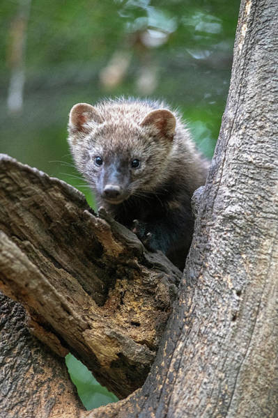 Photograph - Frisher Looking Through Fork In Tree by Dan Friend
