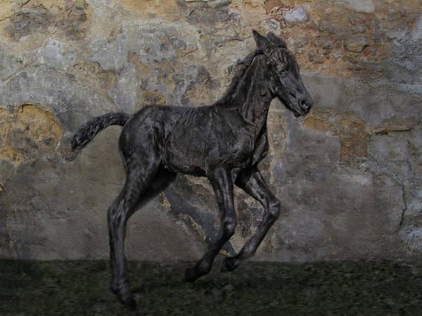 Foal Photograph - Frisian-boy by Joachim G Pinkawa