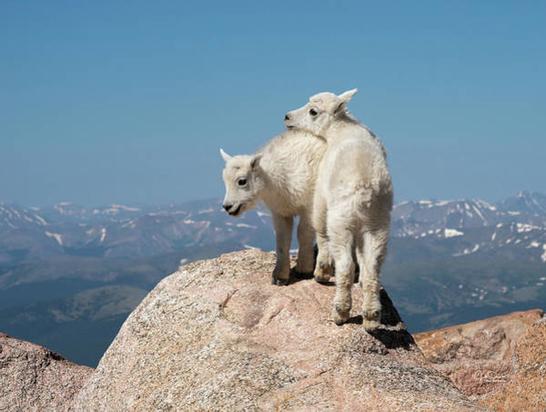 Photograph - Frisky Mountain Goat Babies by Judi Dressler