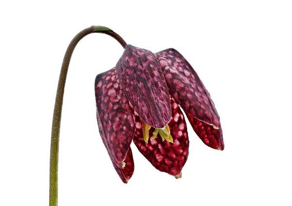 Photograph - Fritillaria Meleagris Transparent Background by Paul Gulliver