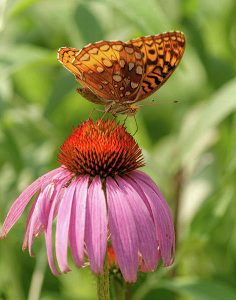 Photograph - Fritillary And Cone Flower 2018-2 by Lara Ellis