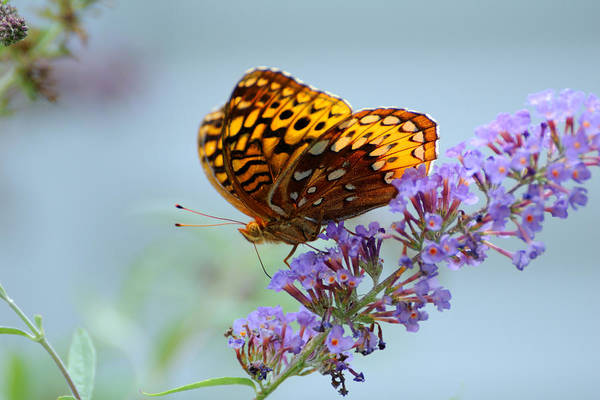 Wall Art - Photograph - Fritillary Butterfly by Edward Sobuta