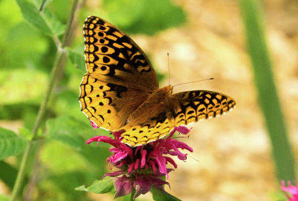 Wall Art - Photograph - Fritillary On Monrada by Douglas Barnett