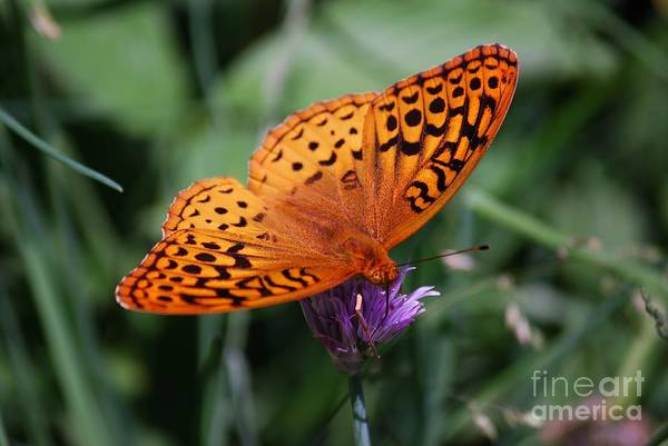 Photograph - Fritillary Wings by Randy Bodkins