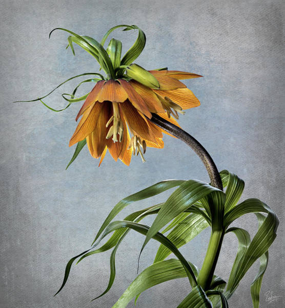 Photograph - Frittelaria Imperialis by Endre Balogh