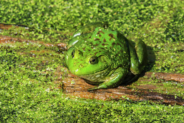 Photograph - Frog And Duck Weed by Edward Peterson
