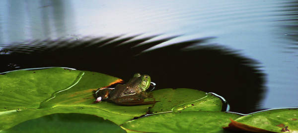 Photograph - Frog And Lilypad 3072 H_2 by Steven Ward