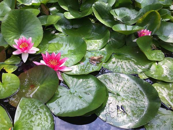 Photograph - Frog And Water Lilies In The Pond by Cristina Stefan
