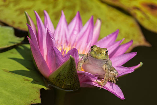 Wall Art - Photograph - Frog In A Lily by Jeff Abrahamson