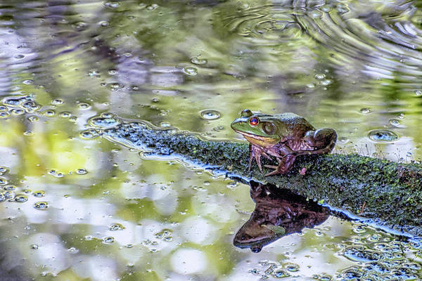 Bullfrog Photograph - Frog On A Log by Sandi Kroll