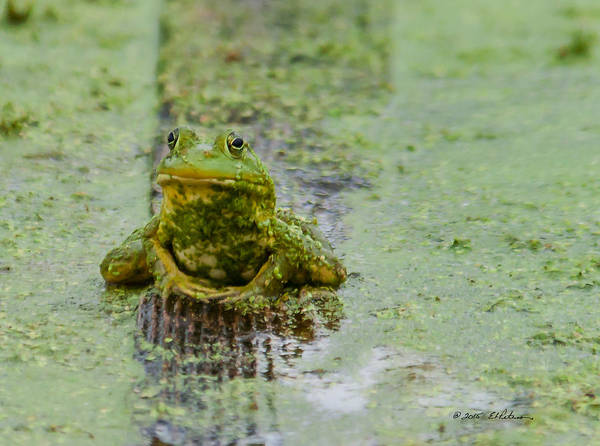 Photograph - Frog On A Plank by Edward Peterson