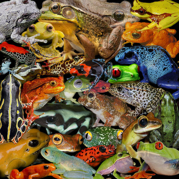 Photograph - Frogs by Andrew Fare