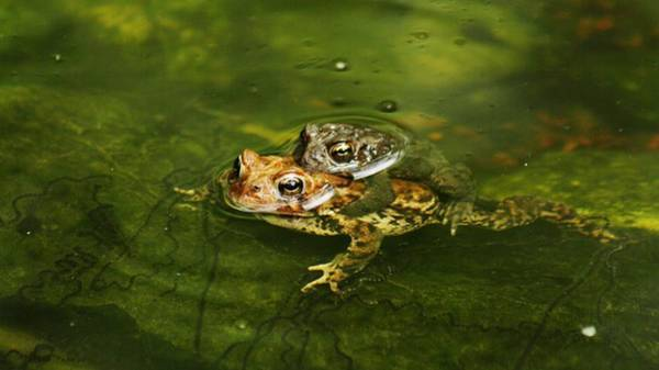 Wall Art - Photograph - Frogs In Love by Valia Bradshaw