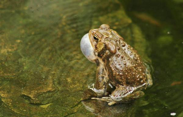 Wall Art - Photograph - Frogs Love Song by Valia Bradshaw