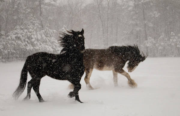 Steed Photograph - Frolic In The Snow by Kristia Adams