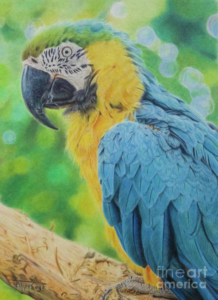 Blue Parrot Drawing - From Blue And Gold by Filipe Rego Phil-FR