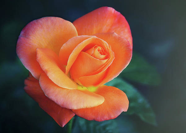 Photograph - From My Rose Gardens by Elaine Malott