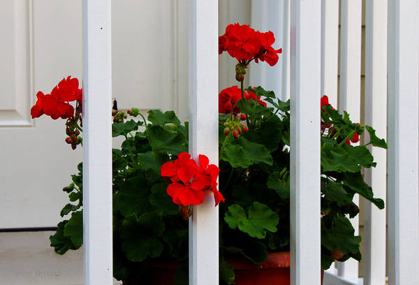 Photograph - Front Porch Geraniums by Susan Vineyard